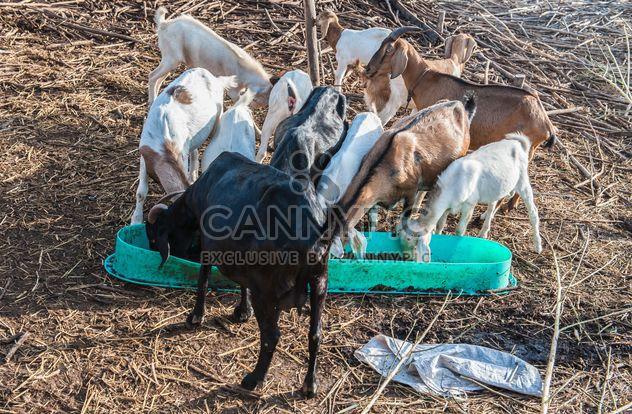 chèvres dans une exploitation agricole - Free image #328105