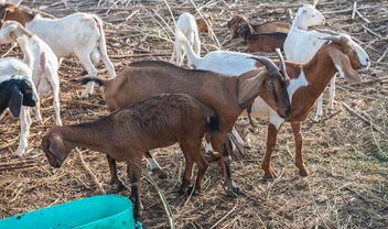 goats on a farm - image gratuit #328125