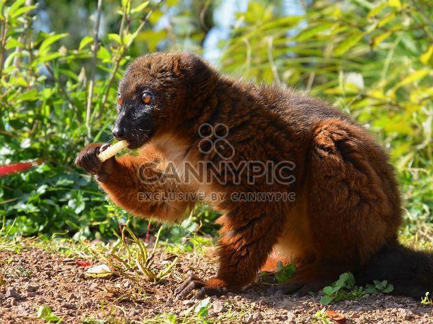 Lemur close up - Free image #328465