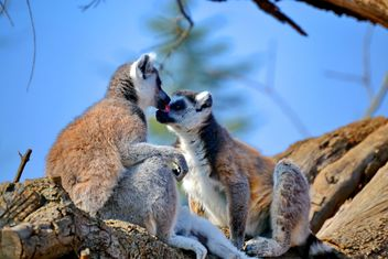 Lemur close up - image gratuit #328485