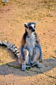 Lemur close up - image gratuit #328495