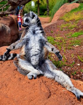 lemur sunbathing - image gratuit(e) #328515