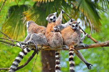group of lemurs with a puppy - бесплатный image #328555