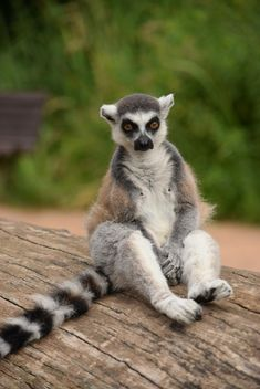 Lemur close up - image gratuit #328595