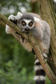 Lemur close up - image gratuit #328605