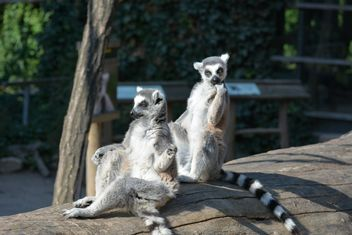 Lemur close up - image gratuit #328625