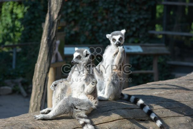 Lemur close up - Free image #328625