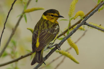 Cape May Warbler - image gratuit #329005