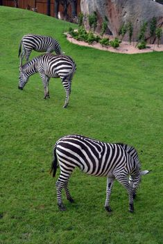 zebras on park lawn - Free image #329025