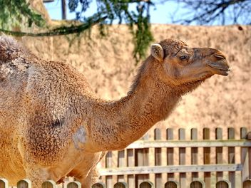 dromedary on farm - image gratuit #329035