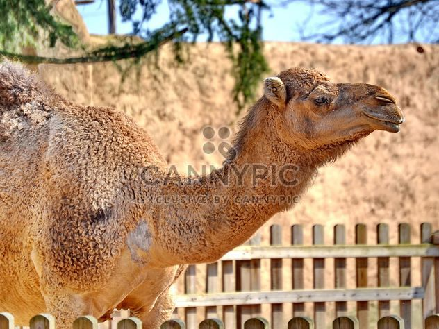 dromedary on farm - Free image #329035
