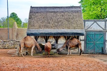 dromedary on farm - Free image #329055