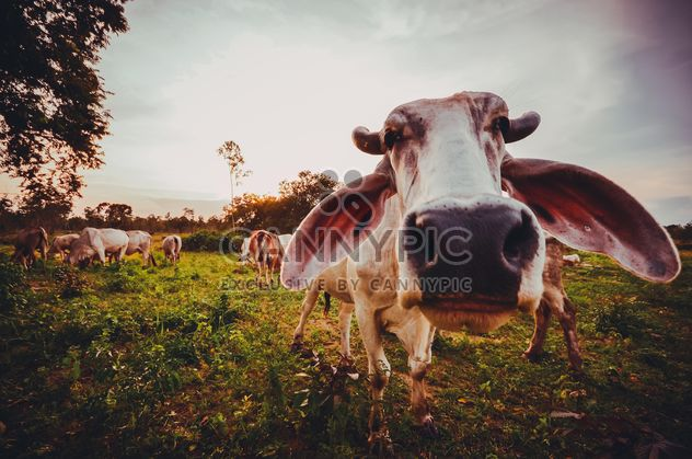 Cows in open cow farm - Free image #329655