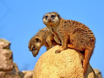 Meerkats in park - Free image #330235