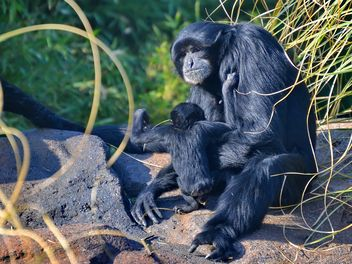 Siamang gibbon female with a cub - Free image #330245
