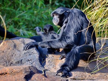 Siamang gibbon female with a cub - image gratuit #330255