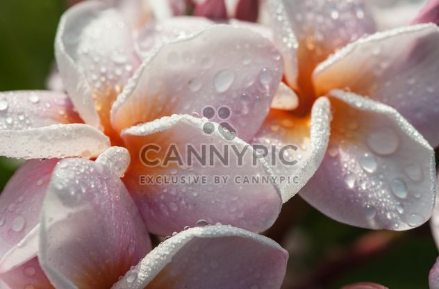 Close-up de Plumeria rosa - Free image #330865