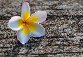 Pink plumeria - Free image #330875