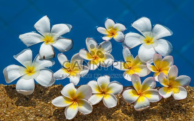 Close up of Plumeria on water - Free image #330885