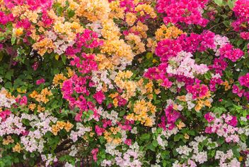 Bright colorful bougainvillea bush - image #330895 gratis