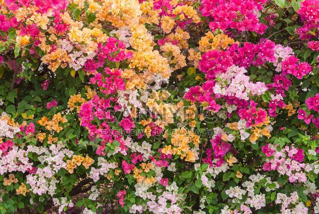 Arbusto de buganvílias coloridas brilhantes - Free image #330895
