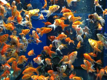 Gold fish in aquarium - image gratuit #331265
