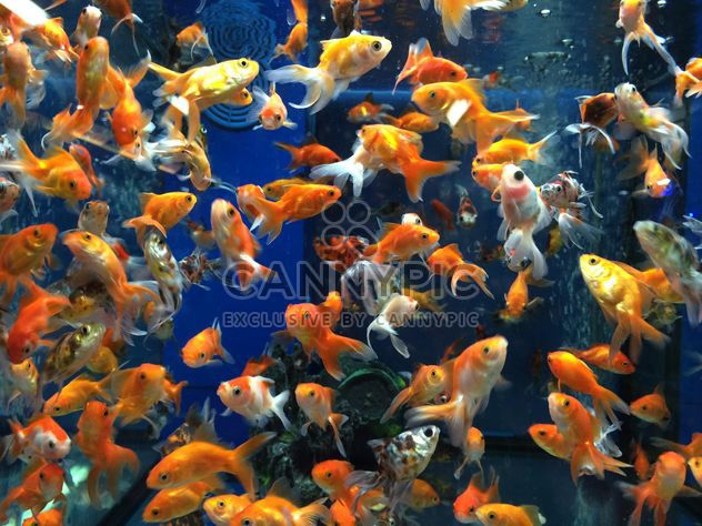 Gold fish in aquarium - Free image #331265