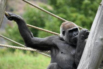 Gorilla on rope clibbing in park - image #333175 gratis