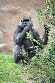 Gorilla eats green in park - бесплатный image #333205