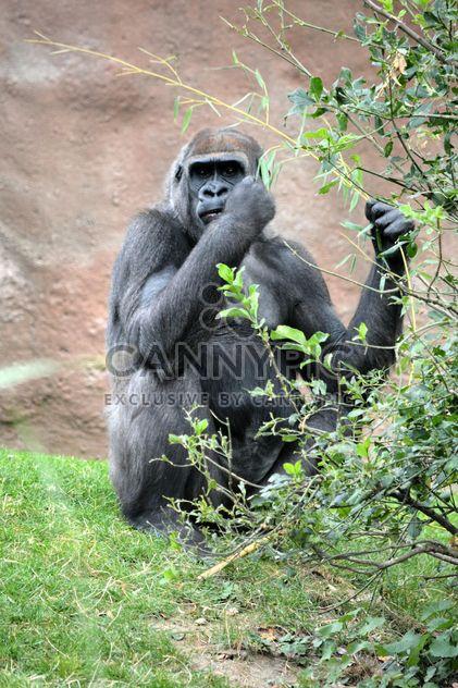 Gorilla eats green in park - image #333205 gratis