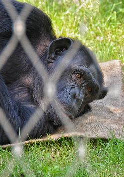 Gorilla rests in park - бесплатный image #333255