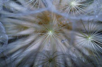 Dandelion macro - бесплатный image #333295
