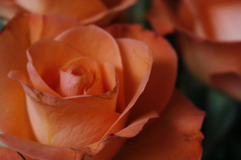 Roses close up - Free image #334155