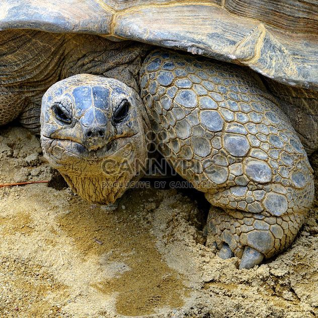 Portrait of Giant turtle - Free image #334725