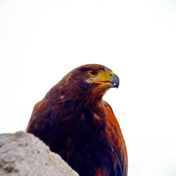 Brown hawk - image #334815 gratis