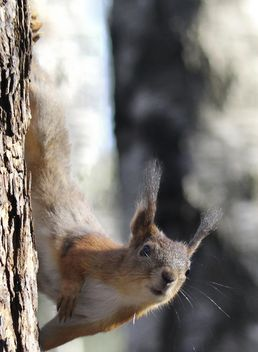 Squirrel on a tree - image #335025 gratis