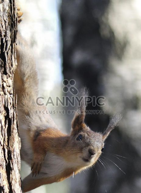 Squirrel on a tree - Free image #335025