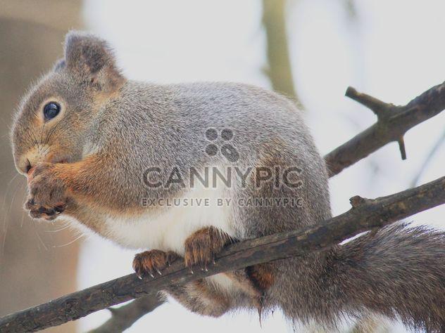 Eichhörnchen Essen nut - Kostenloses image #335045