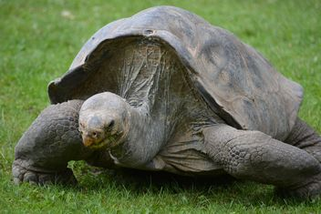 One Tortoise on green grass - image #335085 gratis