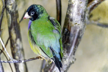 Black-Faced Gouldian Finch - Free image #336335