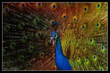 Psychedelic Peacock - Free image #336925