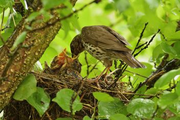 Thrush and nestlings in nest - Free image #337575
