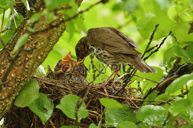 Thrush and nestlings in nest - Free image #337575