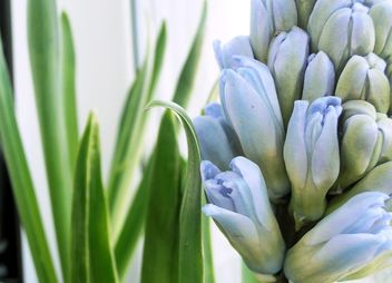 Blue hyacinth flower - image #337935 gratis