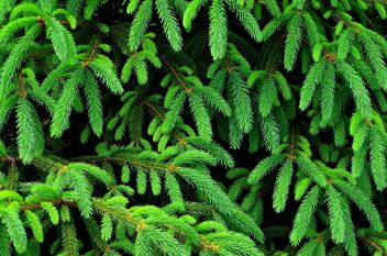 Closeup of fir branches - Kostenloses image #338295