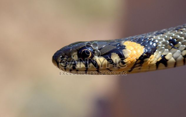 Portrait of grass snake - Free image #338315