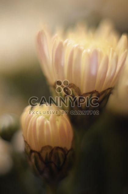 White chrysanthemum flowers - Free image #338325