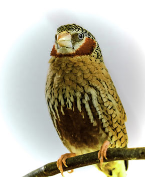 Cut Throat Finch - image #338465 gratis
