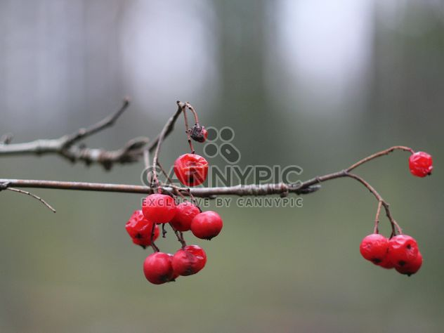 Branch with red berries - Free image #339175