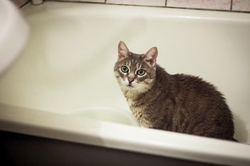 Grey cat in bath - image gratuit #339195